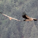 Himalayan Vultures, Humla District, Western Nepal