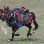 Horse competition, Shey Gompa Festival, Upper Dolpa